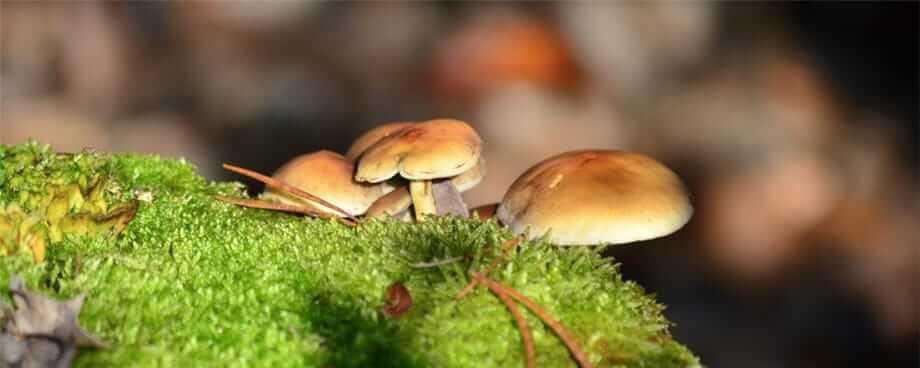 Korpus Energy propose des champignons médicinaux de grande qualité